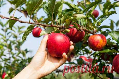 Лучшие скороспелые сорта яблонь для быстрого урожая | Идеальный огород | Яндекс Дзен