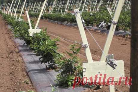 Новую конструкцию шпалер для выращивания ежевики протестировали в США - Садоводка
