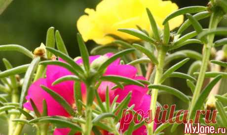 Портулак: «сорняк» во саду ли, в огороде - портулак, дандур, происхождение, виды, полезные свойства, использование, выращивание, уход, размноже