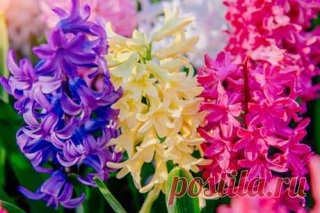 Луковичные цветы для посадки осенью: фото, сроки и особенности посадки