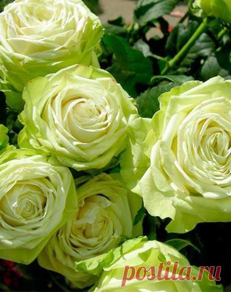 Нежно-трепетное лето в фейерверках дивных грёз Нам подарит неприметно сказку из прекрасных Роз..