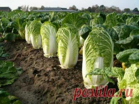 Июль – самое время для посева пекинской капусты   Капуста, лук, чеснок (Огород.ru)
