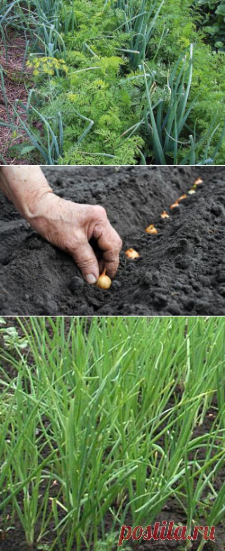 El consejo ogorodnitsy, como plantar la cebolla-sevok — 6 sotok