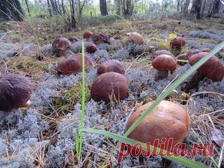 Как сеять грибы Готовится грибная рассада - просто. Берётся шляпка уже перезревшего гриба (белый или подберезовик). Перемалывается на обычной ручной мясорубке. Кладётся в бутыль с водой. Дальше идёт способ пробуждения спор грибов. Чтобы пробудиться споре в природе - ей нужно пройти по…
