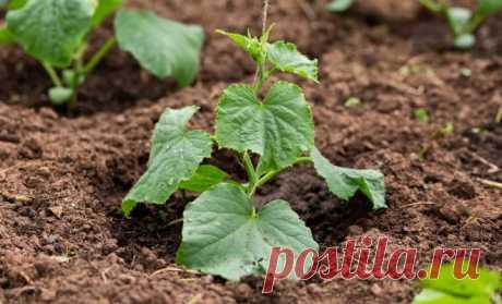 Los secretos de la siembra de julio de los pepinos   los Pepinos (Огород.ru)