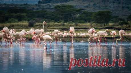 Когда-то озеро Накуру (Кения) было известно миллионами розовых фламинго, однако в последние годы птицы покинули эти места. Причины: изменение климата и состава вод озера. Автор снимка – Дмитрий: nat-geo.ru/community/user/223008