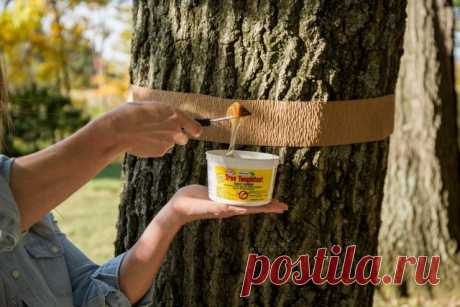 Lovchy belt for a tree – how to make with own hands and it is correct to fix | Diseases and wreckers (Огород.ru)