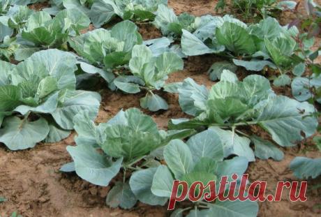 Подкормка капусты на грядках, в открытом грунте народными средствами и минеральными удобрениями