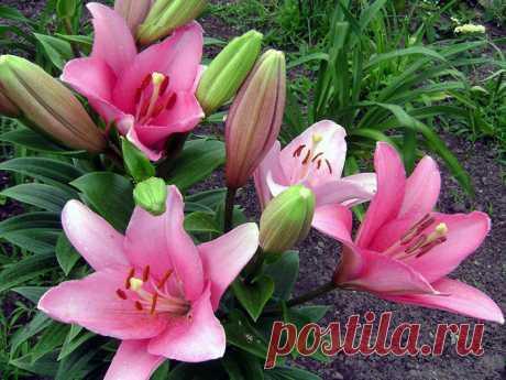 Лилия | Садовые цветы