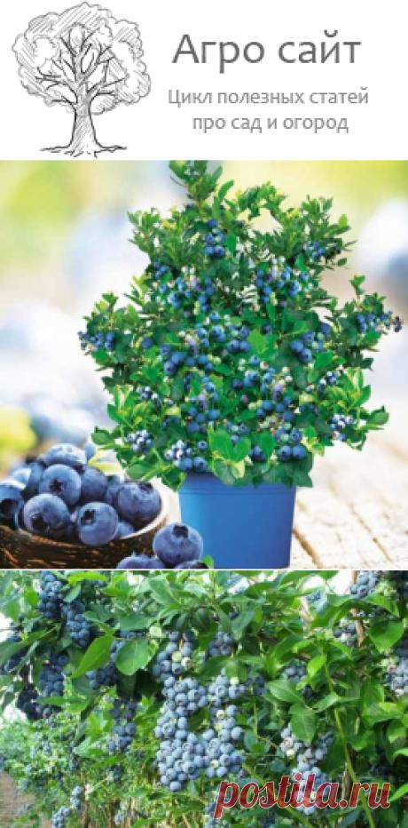 Голубика садовая - посадка и уход в открытом грунте