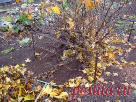 Смородина и крыжовник осенью – правильный уход и подготовка к зиме   Смородина, крыжовник (Огород.ru)