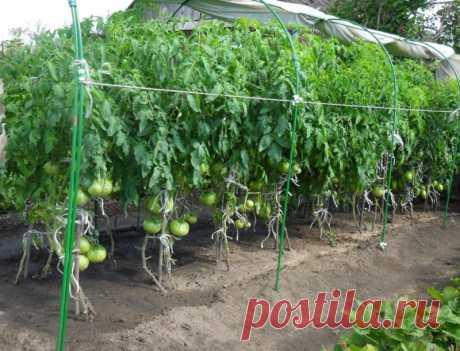 Чтобы томаты дозрели — Садоводка