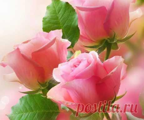 Розы фото|Галерея красивых фотографий