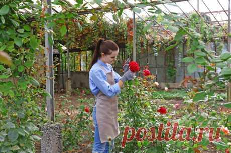 Правильный выбор качественных саженцев роз — как определить и не прогадать | Рекомендательная система Пульс Mail.ru