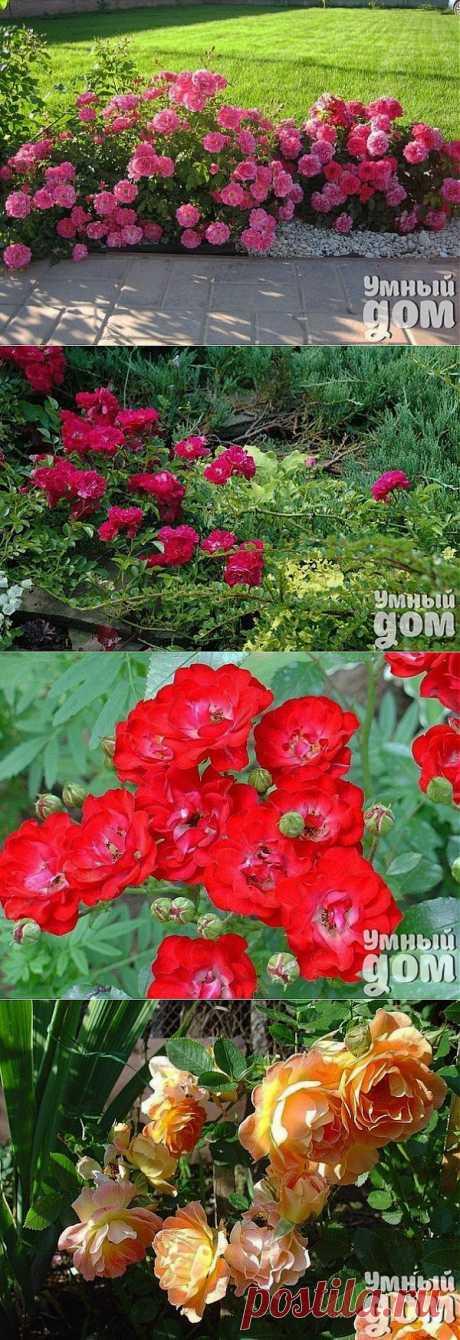 Почвопокровные розы: уход, посадка, обрезка, подкормка и размножение