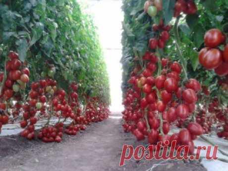 Помидоры в открытом грунте | Сад и Огород