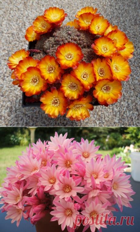 Айлостеры и ребуции — кактусы с цветущими венками