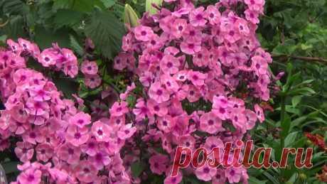ФЛОКСЫ в августе - как ухаживать. ОБЗОР СОРТОВ в моем саду В этом видео я рассказываю, как ухаживаю за флоксами в августе, чтобы они пышно цвели. А также показываю сорта флоксов, которые растут в моем саду