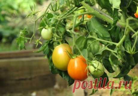 Выращивание помидоров без полива по методу Казарина - инструкция
