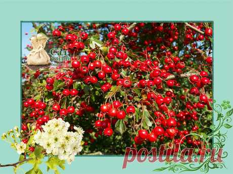 Пора посадить у себя в саду БОЯРЫШНИК ОБЫКНОВЕННЫЙ с необыкновенно полезными ягодами и красотой цветения | Сад Жизни | Яндекс Дзен