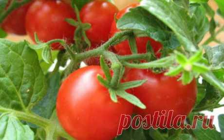 Чего не любят томаты