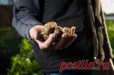 Как сушить выкопанный картофель? Важно правильно подготовить клубни к длительному хранению.