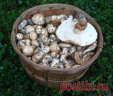 Баснословно дорогой российский гриб. $ 5 тыс. за кг. | Природа Северо-Запада | Яндекс Дзен