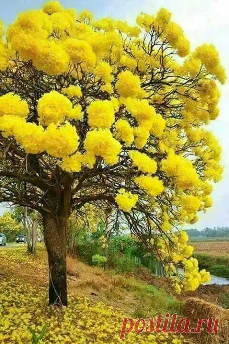 Как празднично цветёт мимоза 👀 ☀ 💛