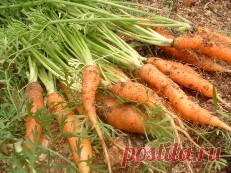 Ошибки на морковной грядке Трудно представить огород без моркови, но не всегда и не у всех она урождается крупной и сладкой. Все из-за распространенных ошибок. Раскроем самые главные из них. Морковь растет на любой грядке На самом деле для нее подходит только солнечное место, желательно, продуваемое ветерком...
