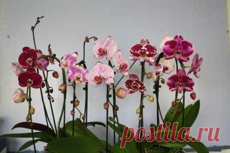 Орхидея фаленопсис. Уход за растением по месяцам!