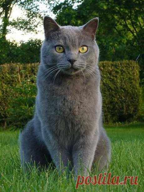 Картезианская кошка (Шартрез) - выведенная во Франции порода короткошёрстных кошек.