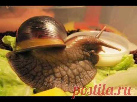 Ахатина - Как живется улиткам в неволе. How to live snails in captivity. - YouTube