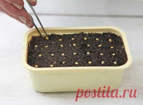 Как правильно подготовить семена перца к посеву. Простой способ   Дачные секреты от Виктории Радзевской   Яндекс Дзен