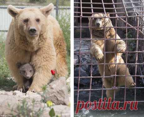 """Спасенная из клетки у армянского ресторана медведица Даша родила двух милых медвежат  Полгода назад медведицу Дашу вытащили из ржавой клетки, которая стояла рядом с рестораном в Ереване (Армения). Медведица провела в этой клетке не менее 10 лет и была призвана """"развлекать"""" посетителей…"""