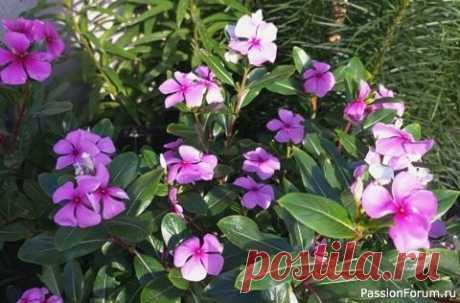 Катарантус - цветок для клумбы и для дома Катарантус цветёт на клумбе всё лето до первых заморозков осенью. Это растение всегда остаётся декоративным, радует изумрудной блестящей зеленью и равномерным ярким цветением.Катарантус ещё называют барвинок розовый. Цветы у него небольшие, но яркие, как звёздочки вспыхивают на фоне...
