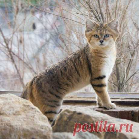 Барханный кот – одинокий житель пустыни