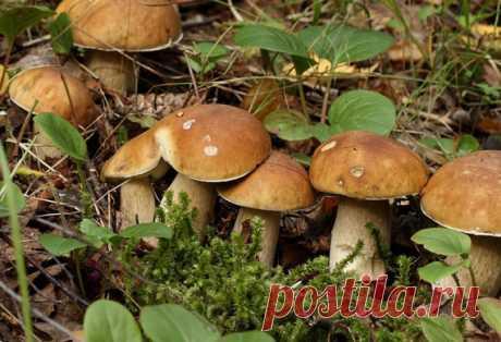 Как сеять грибы echo adrotate_group(2, 0, 0, 0); Вырастить грибы можно как дома, так и на приусадебных участках. В домашних условиях хорошо растут шампиньоны, подберезовики, лисички и прочие грибы. echo adrotate_group(6, 0, 0, 0); Как посеять грибы Готовится грибная «рассада» — просто. Берётся шляпка уже перезревшего гриба (белый или подберезовик). Перемалывается на обычной ручной мясорубке. Кладётся в бутыль …