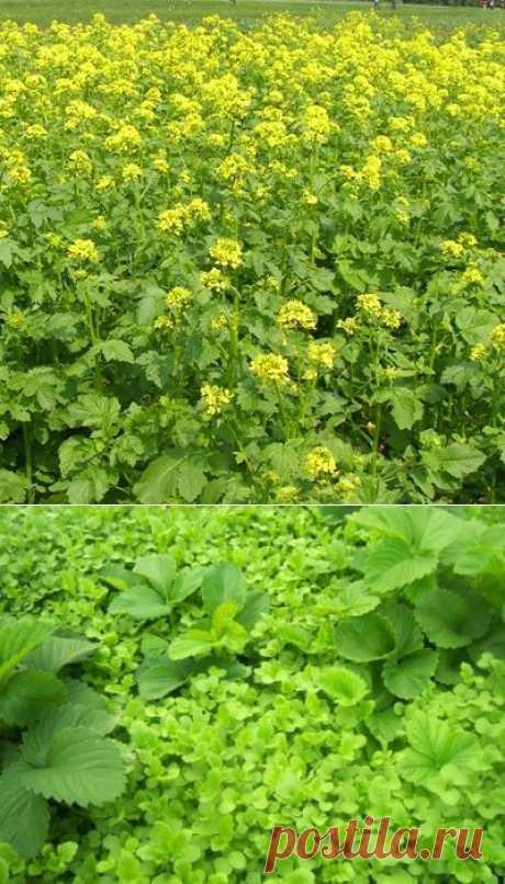 Горчица как удобрение и от сорняков в огороде, белая горчица - комнатные растения и цветы