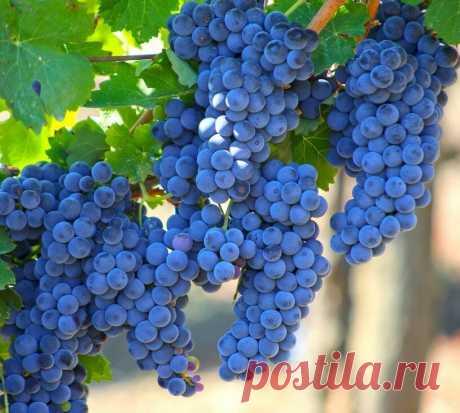 Подкормите Виноград осенью, помогите ему легче пережить зиму и получите больше урожая в будущем году. Простые рецепты подкормок   Моя усадьба   Яндекс Дзен