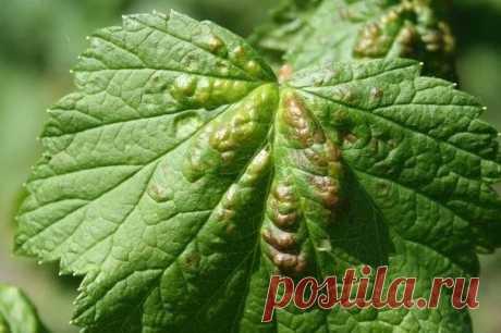 Галловая тля: опасные бугорки на листьях  Колонии насекомых обнаружить несложно. На верхней стороне пластинки выделяются уродливые темно-красные бугорки, на нижней – сами вредители.  Взрослые особи питаются соком молодых листьев, что приводит к их искривлению. При массовом заселении кустов галловой тлей листья отмирают, новые побеги рано прекращают рост, куст развивается плохо. Урожайность таких растений значительно снижается. Показать полностью…