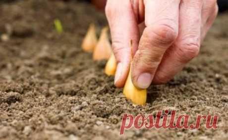 Посадка лука под зиму. Почему лук лучше садить осенью?