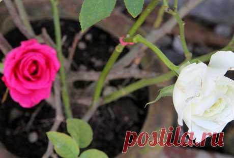 Прививаем розы: подробная пошаговая инструкция