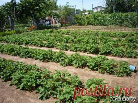 Как лучше посадить клубнику?: Группа Практикум садовода и огородника
