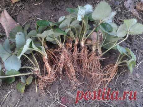 Как рассадить садовую землянику делением куста — инструкция Русский фермер
