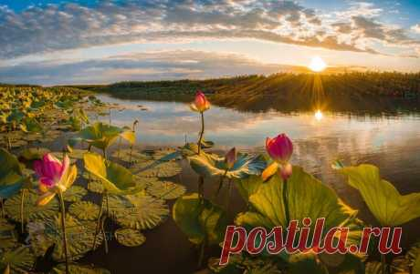 Лотосовый рассвет в дельте Волги, Астраханская область. Доброе утро! Снимал Федор Лашков: nat-geo.ru/community/user/27502/.