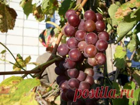 Как ухаживать за виноградом летом для достижения обильного урожая — Ботаничка.ru
