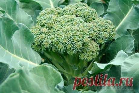 Secrets of cultivation of cabbage of broccoli in a midland