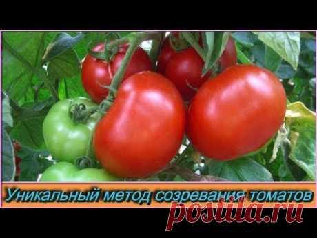 Уникальный метод для ускорения созревания помидор «ПЬЯНЫЕ» томаты созревают через 12 дней - YouTube