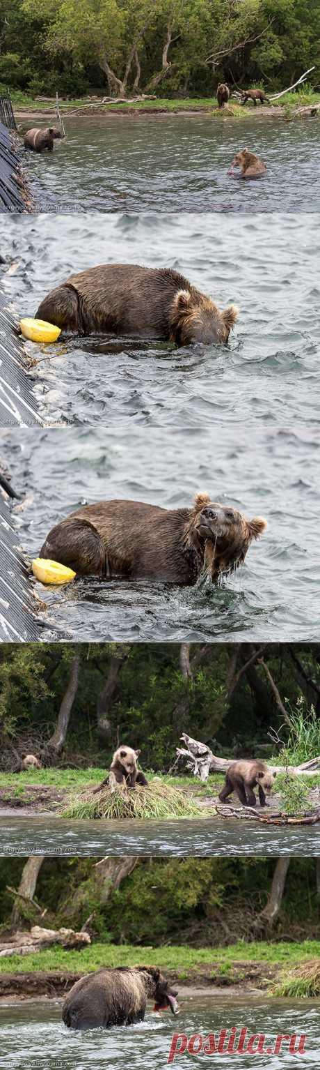 Медвежья рыбалка на заповедном кордоне | Fresher - Лучшее из Рунета за день