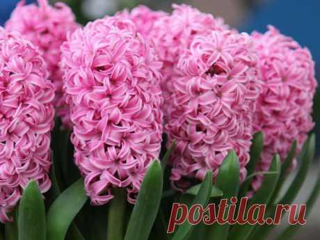 Гиацинт Pink Pearl: описание, посадка и уход